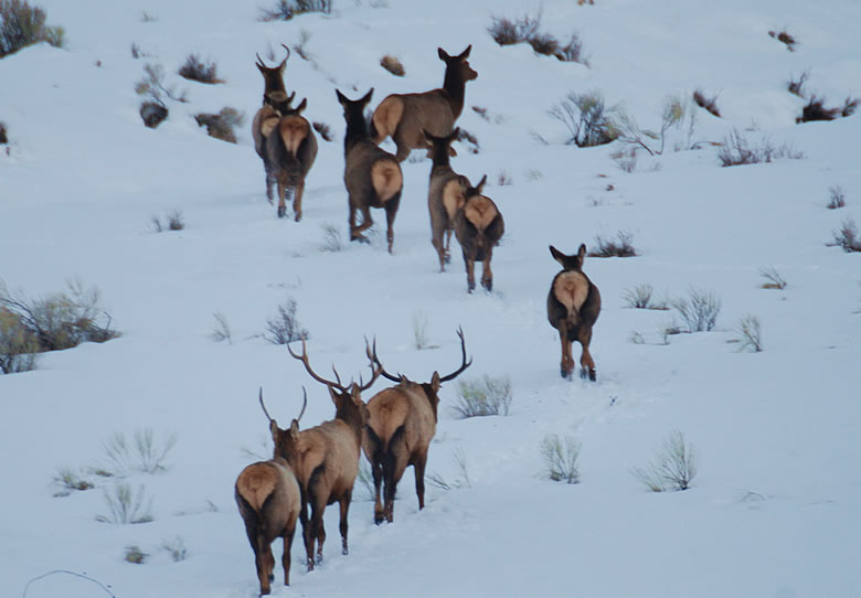 Wyoming Elk Herd